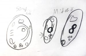 Drawing of a cell going through mitosis.